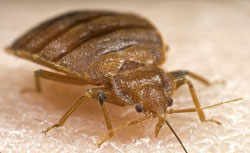 Close up image of a bed bug.